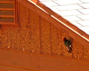 woodpecker-siding-house